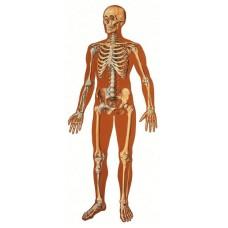 Ανθρώπινος Σκελετός Εμπρόσθια Όψη